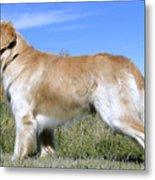 Golden Labrador - Cheemo Metal Print