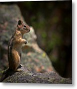 Golden Mantled Ground Squirrel Rocky Mountains Colorado Metal Print