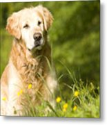 golden Retriever in garden Metal Print