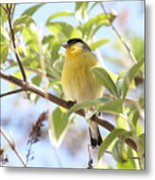 Goldfinch In Spring Tree Metal Print