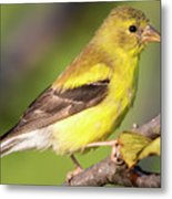 Goldfinch In The Early Morning  Metal Print