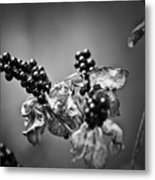 Gone To Seed Blackberry Lily Metal Print