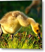 Gosling In Spring Metal Print by Paul Ge