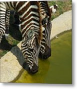 Grants Zebras - Thirst Quencher Metal Print