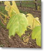 Grape Leaves At Fess Parker Metal Print