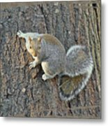 Gray Squirrel - Sciurus Carolinensis Metal Print