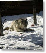 Gray Wolf 2 Metal Print