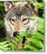 Gray Wolf In The Woods Metal Print