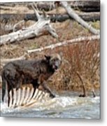 Gray Wolf With Elk Kill Metal Print
