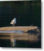 Great Black-backed Gull  Metal Print