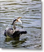 Great Blue With A Drum Metal Print