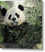 Great Panda Metal Print