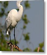 Great White Egret Pose Metal Print