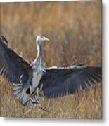 Grey Heron Landing Metal Print