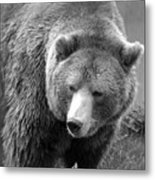 Grizzly Bear And Black And White Metal Print