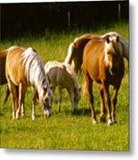 Halflinger Horses Metal Print