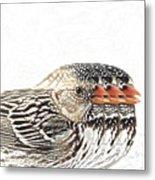 Harris' Sparrow X 3 Metal Print