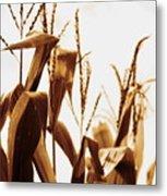 Harvest Corn Stalks - Gold Metal Print
