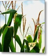 Harvest Corn Stalks Metal Print