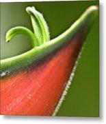 Heliconia Orthotricha Metal Print