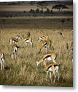 Herd Of Antelope Metal Print by Darcy Michaelchuk