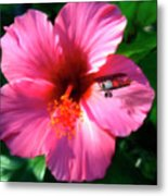 Hibiscus Fly-by Metal Print