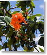 Hibiscus Rosasinensis With Fruit On The Indian River Metal Print