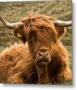 Highland Cow Color Metal Print by Justin Albrecht