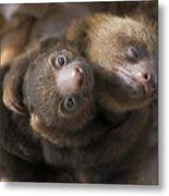 Hoffmanns Two-toed Sloth Orphans Hugging Metal Print by Suzi Eszterhas
