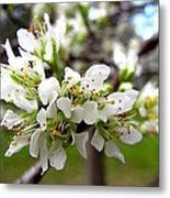 Hog Plum Blossoms Metal Print