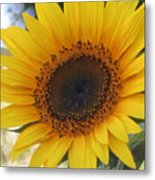 Homegrown Sunflower Metal Print
