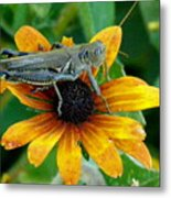 Hopper On Black Susan Flower Metal Print