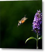 Hummingbird Hawk Moth - Three Metal Print