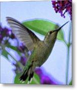 Hummingbird In Butterfly Bush Metal Print