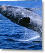 Humpback Full Breach Metal Print