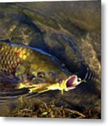 Hungry Carp Metal Print