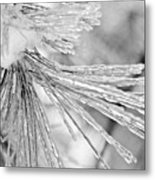Iced Pine Needles Metal Print
