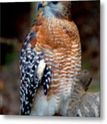 Inquisitive Red Tailed Female Hawk Metal Print