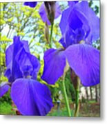 Irises Floral Garden Art Print Blue Purple Iris Flowers Baslee Troutman Metal Print