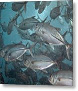 Jack Fishes At The U.s.a.t. Liberty Wreck Metal Print