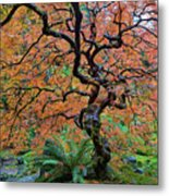 Japanese Garden Lace Leaf Maple Tree In Fall Metal Print