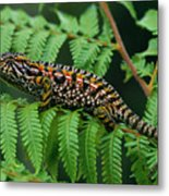 Jeweled Chameleon Furcifer Lateralis Metal Print