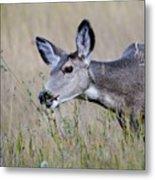 Juvenile Mule Deer Feeding Metal Print