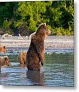 Kamchatka Brown Bear Metal Print