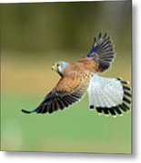 Kestrel Bird Metal Print by Mark Hughes