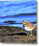 Killdeer . 40d4101 Metal Print