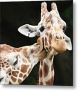 Kissing Giraffes Metal Print by Buck Forester