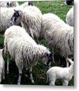 Lambs And Sheep Metal Print