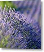 Lavender Flowers In A Field Metal Print