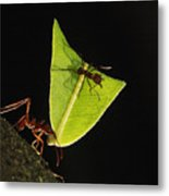 Leafcutter Ant Atta Sp Carrying Leaf Metal Print